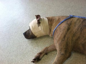 Puppy Survives Being Shot in Head by Trigger Happy Cop dogshoot 300x224
