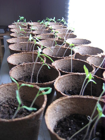 Organic Brandywine tomatoes, Heirloom seeds. / via Wikimedia Commons