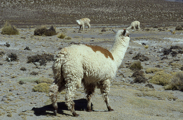 Alpaca in Peru, via Wikimedia Commons