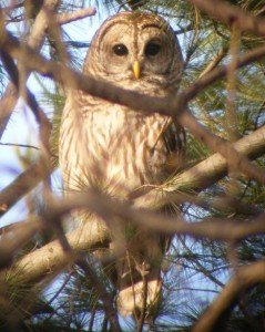 Barred Owl, Ferndale, Maryland / image: Wikimedia Commons