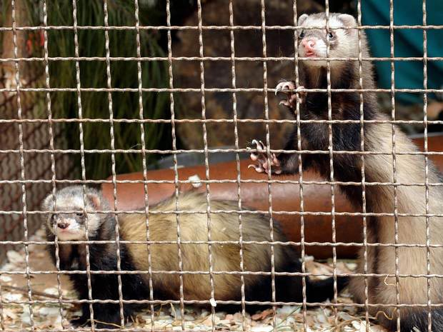 Coalition of leading scientists claim ferret experiments could lead to a pandemic / via independent.co.uk