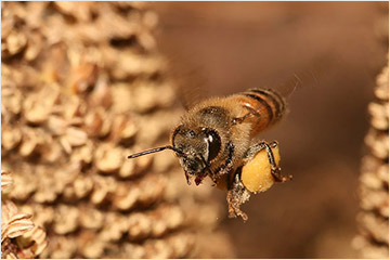 Bee carries pollen back to hive / Image: Wikimedia Commons