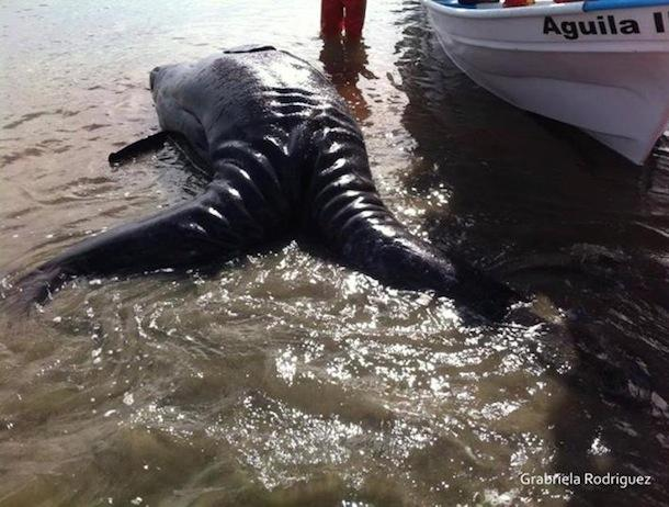 Conjoined Grey Whale Calves from behind