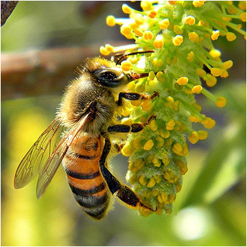 Feds unveil plan to save honey bees thumbnail