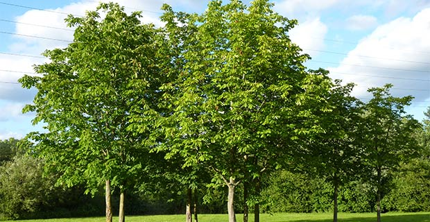 Trees in a park at Winnersh Meadows, Photo by Fluffball, via Wikimedia Commons