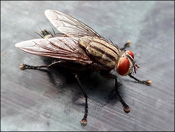 House fly / Photo: Wikimedia Commons