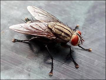 House fly / Photo: Wikimedia Commons