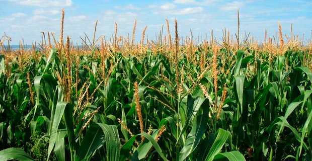 Corn is the number one crop grown in the U.S. and 88% of it is GMO.