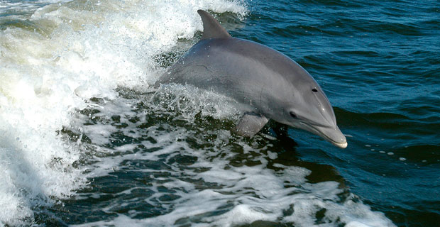 A dolphin surfing in the wake of a boat.