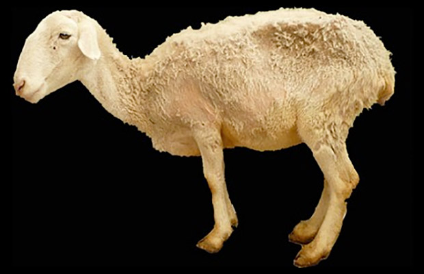 Adult sheep affected by ASIA: extreme catchexia, poor wool coat, redness of skin, atrophy of muscular masses and generalized weakness, followed by death.