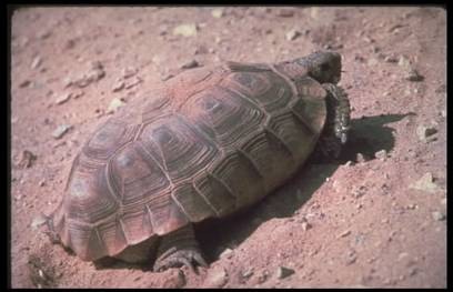 Before Nevada Cattle Rancher Dispute, BLM Was Euthanizing Endangered Desert Tortoise palmsprings images.Par .c5faf14d.Image .408.263