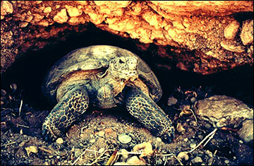 Desert tortoise populations thrive in uncontrolled grazing areas.